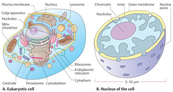 Eukartotic cell and neucleus