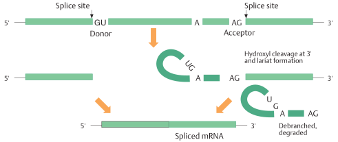 Splicing pathway in GU – AG introns