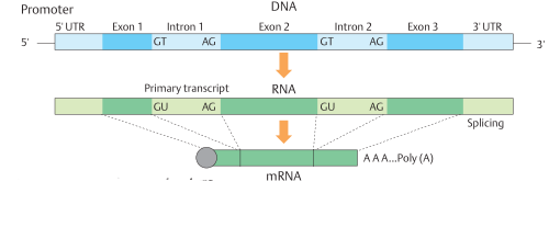 Basic eukaryotic gene structure