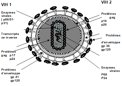 Fig. 1 : Structure des virus VIH 1 et VIH 2