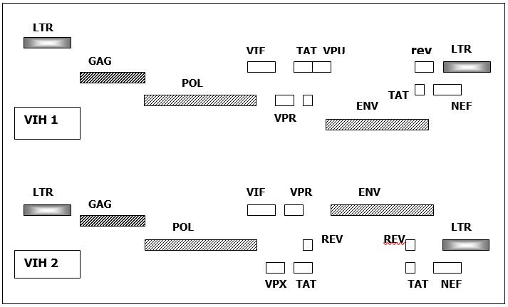 Fig. 2 : Organisation génomique des VIH 1 et VIH 2