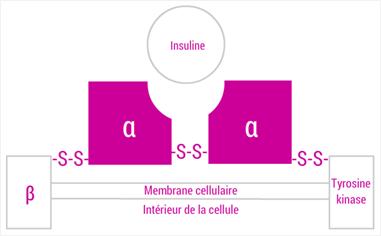 Récepteur de l'insuline
