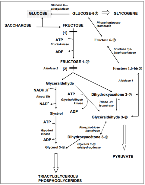 Métabolisme du fructose